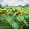 31282569 - sad sunflowers
